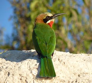 Oiseau Botswana