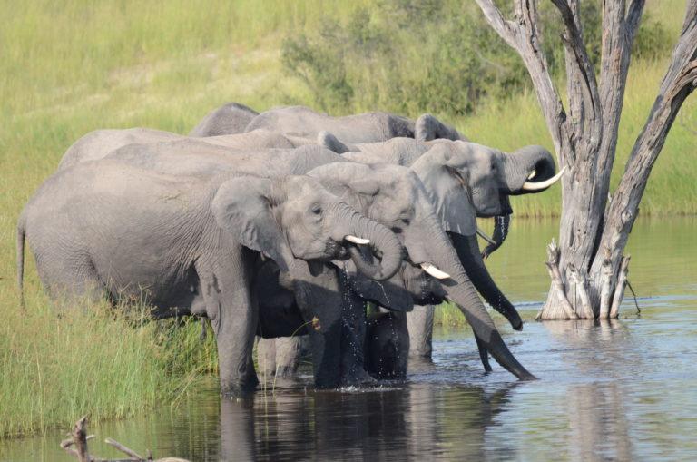 La rivière Savuti de nouveau à sec